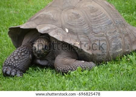 Galapagos Tortoise #696825478