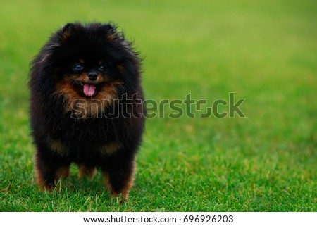 The small Pomeranian Spitz stands on green grass #696926203