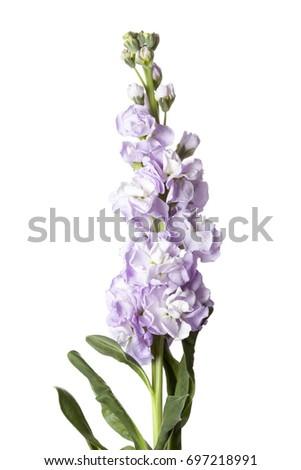 Purple Matthiola incana flower isolated on white background