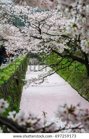 Full bloom cherry blossom and sakura carpet in a canal near philosopher's walk, Kyoto, Japan #697259173