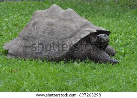 Galapagos Tortoise #697263298