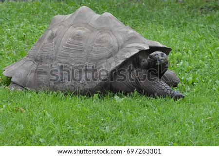 Galapagos Tortoise #697263301