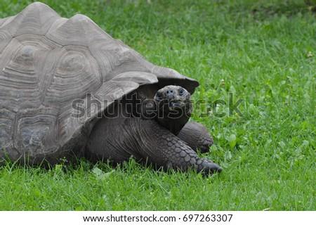 Galapagos Tortoise #697263307