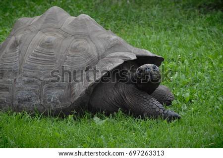 Galapagos Tortoise #697263313