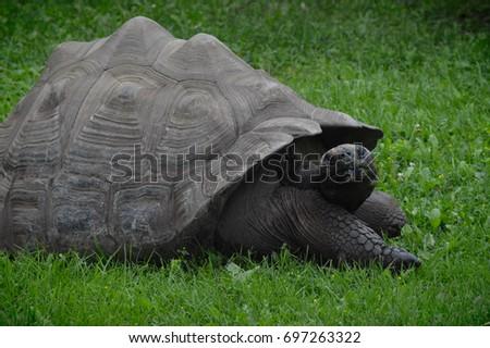 Galapagos Tortoise #697263322