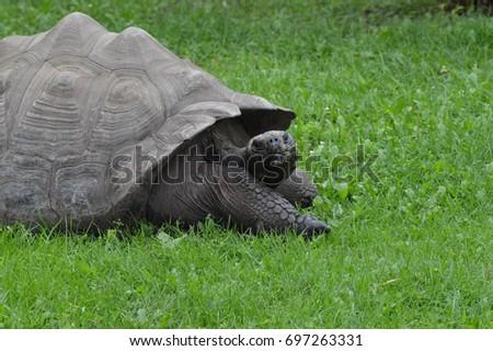 Galapagos Tortoise #697263331