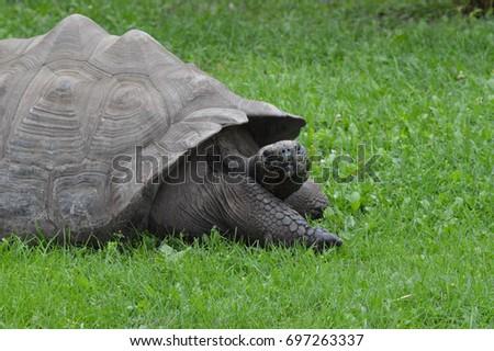 Galapagos Tortoise #697263337
