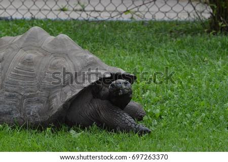Galapagos Tortoise #697263370