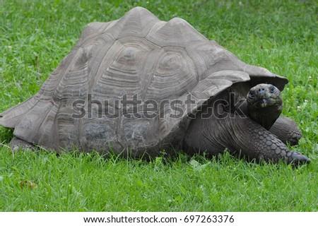 Galapagos Tortoise #697263376