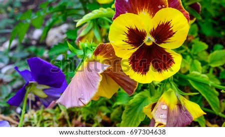 Macro view of Pansy Flowers vivid yellow spring colors with a dark mid against a lush green background. Selective focus. #697304638