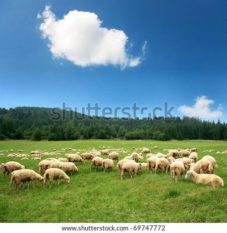 Herd of sheep on beautiful mountain meadow #69747772