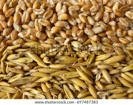 Oat Grains. Corn of oat cereal on white background. #697487383