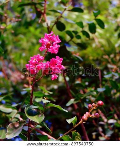 Pink crape myrtle flowers against greenery #697543750