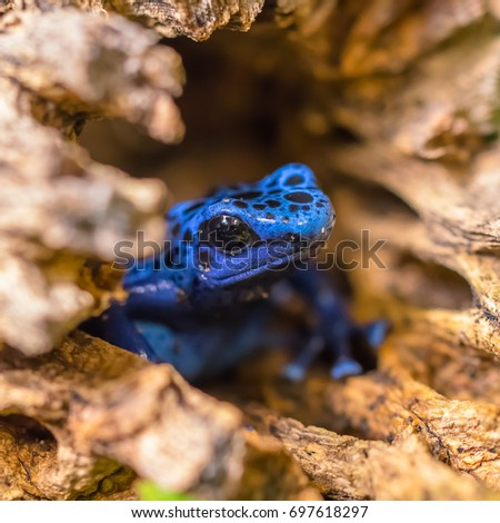 Blue Poison Dart Frog Emerging From a Log #697618297