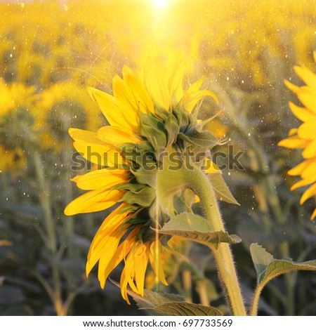 Yellow sunflowers and sunset. Summer landscape.