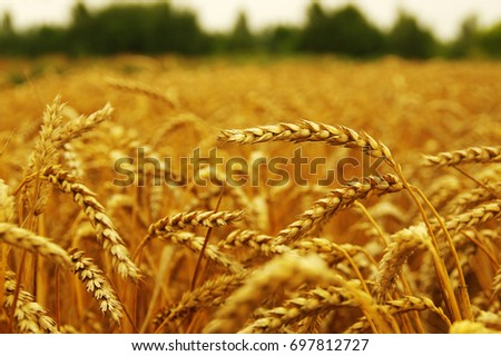 Background of ripening ears of wheat. #697812727