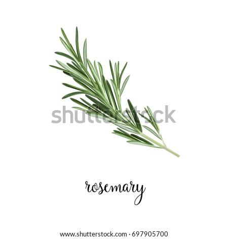 Rosemary branch vector illustration. Art Rosemary Royalty-Free Stock Photo #697905700