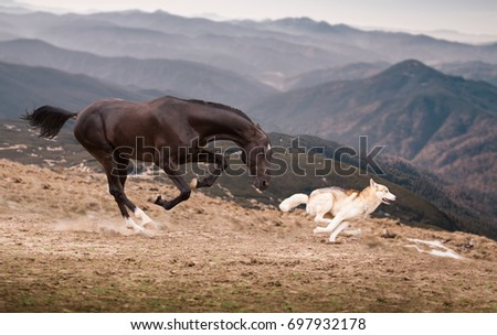 The dark brown horse run with the dog on the mountains background #697932178