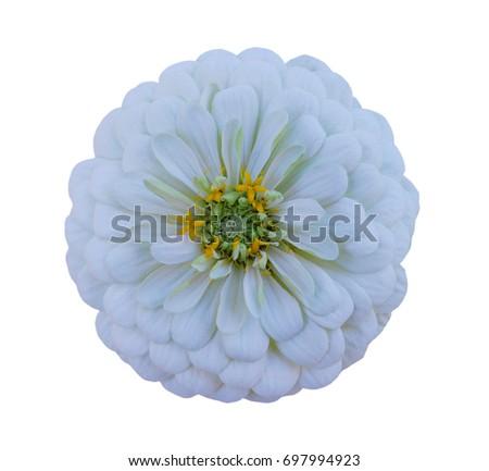 Isolated Zinnia Flower on white background  #697994923