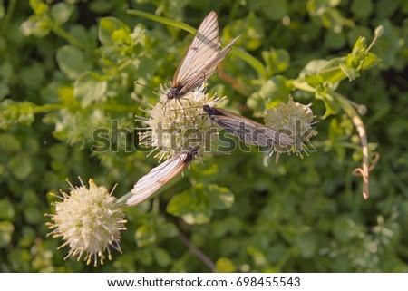 A few Black-veined White butterflies Aporia crataegi sitting on a flower, soft focus. #698455543