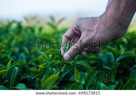 Hand picking fresh tea leaf in tea plantation #698573815