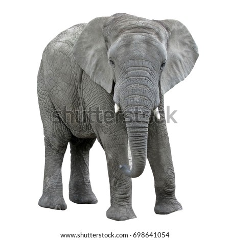 Elephant isolated on white background Royalty-Free Stock Photo #698641054
