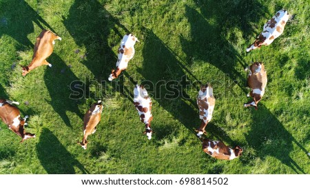 Aerial top-down photo of meadow with red Holstein Friesians cattle grazing grass showing their long shadows from sundown in grass field these cows are usually used for dairy production #698814502
