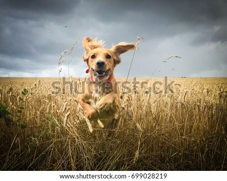 Golden Cocker spaniel dog running through a field of wheat #699028219