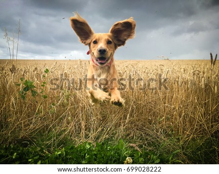Funny looking Golden Cocker spaniel dog running through a field of wheat caught in mid flight with its ears bouncing in the air #699028222