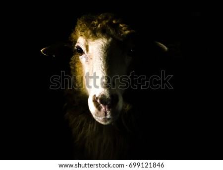 Sheep portrait isolated on black #699121846