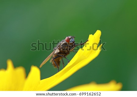 Tachinidae insect #699162652