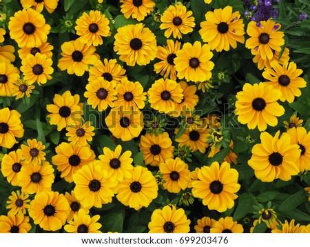 black-eyed Susan daisy flower #699203476