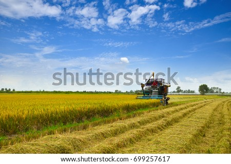 Combine harvester is harvesting in gold rice field, 