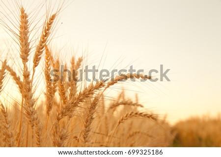 sunset evening golden wheat field #699325186