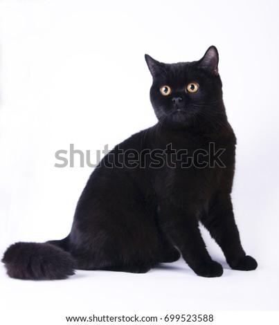 Black british shorthair cat kitty on white background