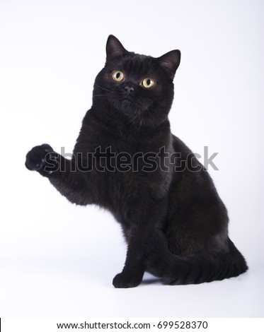 Black cat british shorthair with yellow eyes on white background