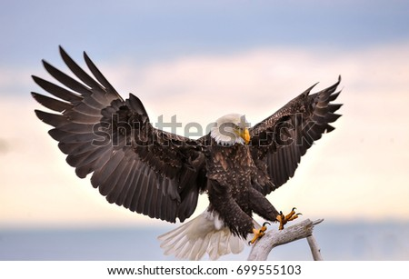 American bald eagle reaching out to perch on branch against background of pale cloudy Alaskan sky in Kenai region