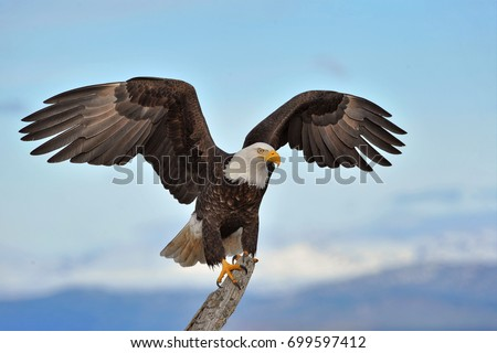 American bald eagle with wings spread and perched on branch against background of Alaskan Kenai region shoreline along Cook Inlet #699597412