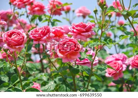 English roses garden in Sennan City, Osaka, Japan #699639550