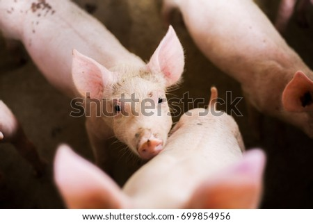 A small pigs at the farm.swine in the stall. #699854956