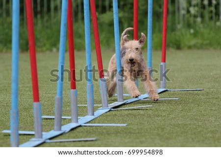 Dog of breed of Lakeland Terrier on the competitions of Agility #699954898