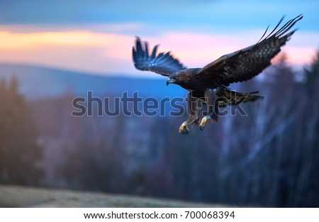 Golden Eagle, Aquila chrysaetos, big bird of prey  lands on autumn meadow with outstretched wings against colorful evening sky in background. Close up eagle in autumn landscape,  Europe.