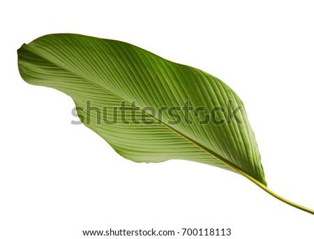 Calathea lutea foliage, (Cigar Calathea, Cuban Cigar), Exotic tropical leaf, Calathea leaf, isolated on white background with clipping path #700118113