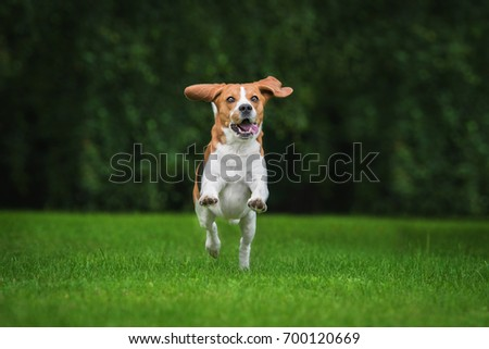 Happy beagle dog playing in summer #700120669