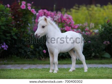 American miniature horse. Palomino foal on green grass in garden.   #700400302