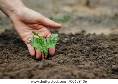 Women's hands put a sprout in the soil, close-up, Concept of gardening, gardening. copy space #700689436