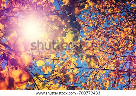 colorful leaf on the perfect blue sky on the background. wonderful autumn background. abstract texture in nature. soft light effect. retro style. instagram filter #700779433