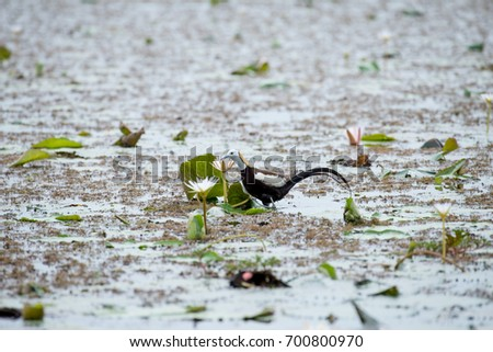 Pheasant-tailed Jacana is the most beautiful waterbird with long tail lived, walk on floating vegetation in shallow lakes #700800970
