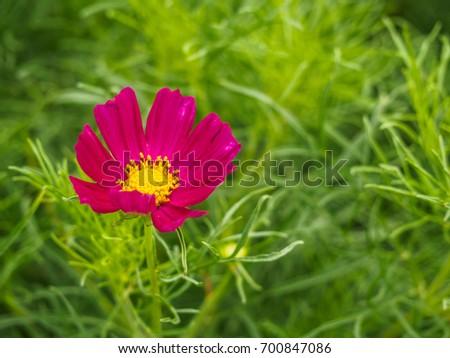 pink cosmos sulphureus flower on nature background #700847086