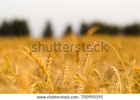 Bread field of rye on a summer evening #700990195